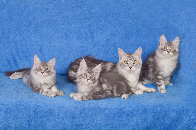 Honeymoon Maine Coon avec ses bebes