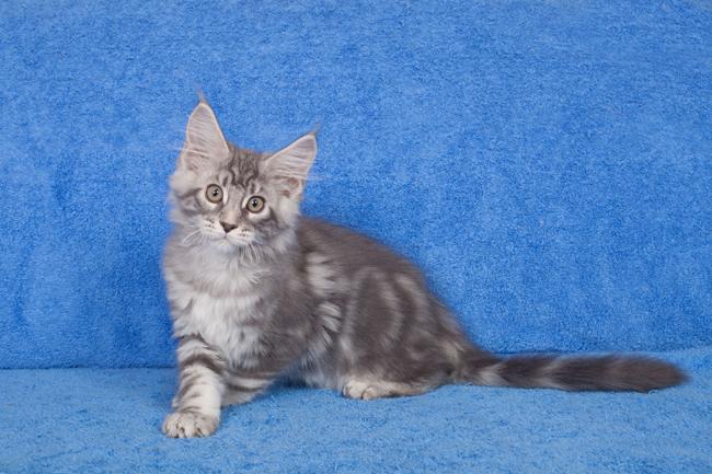 Inox - Male Black Silver Blotched Tabby - Réservé