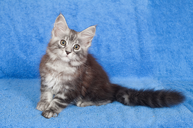 Ice Queen - Female Black Silver Blotched Tabby - En evaluation
